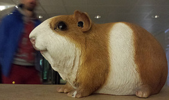 Guinea pigs for all!